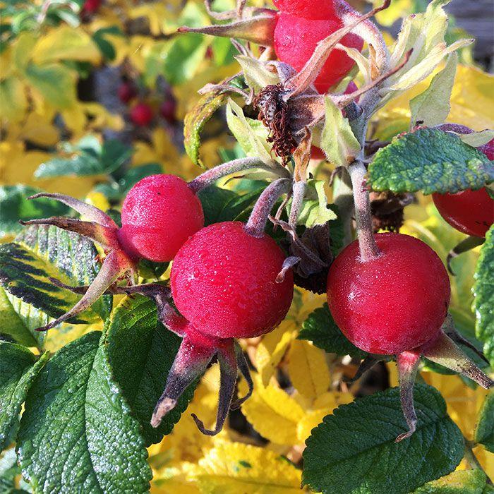 a rosehip plant