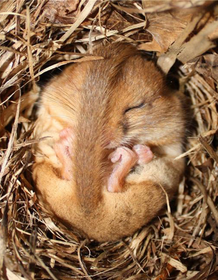 a-dormouse-in-hibernation--kat